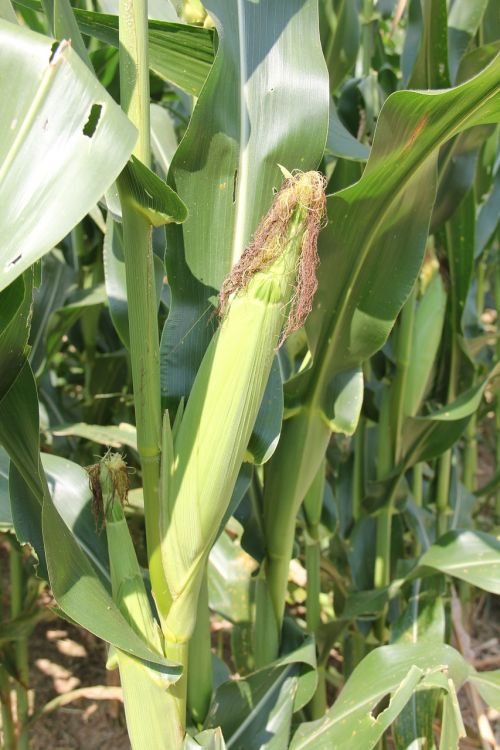 corn maize crop