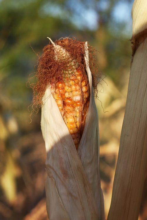 corn indian corn fall