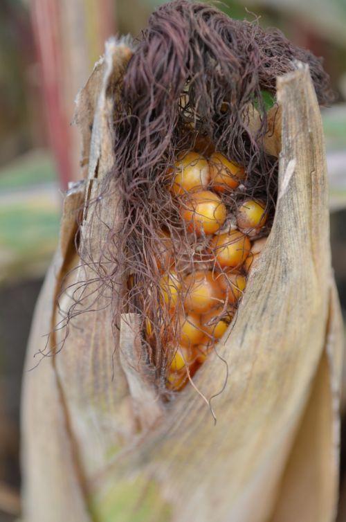 corn corn kernels harvest