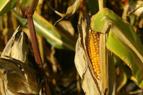 corn plant summer