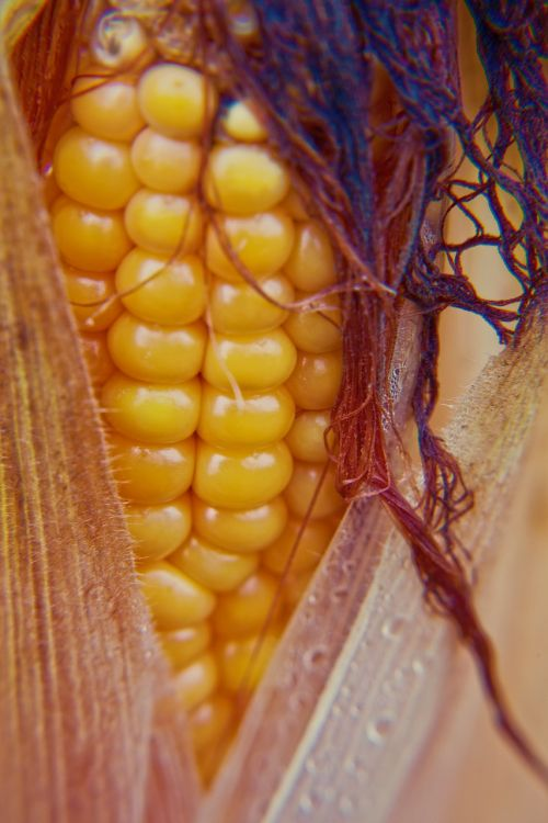 corn corn on the cob corn plant