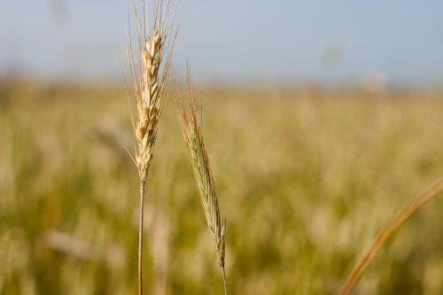 corn kłos summer