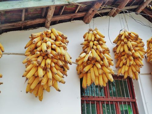 corn in rural areas string