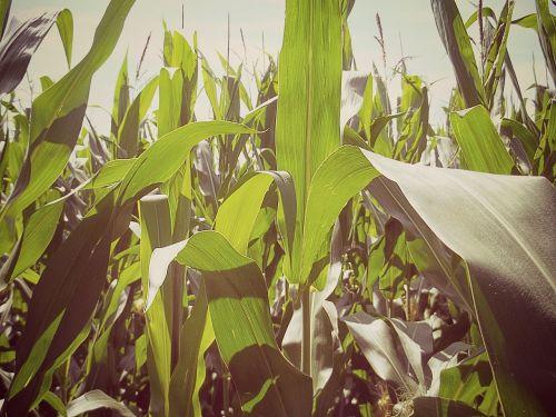 corn cornfield field