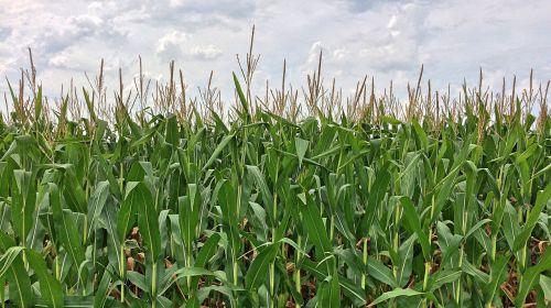 corn maze farm