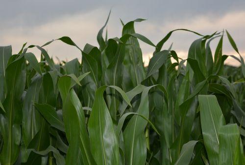 corn corn field agriculture