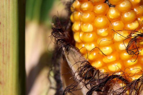corn corn on the cob cornfield