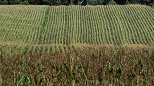 corn harvest field