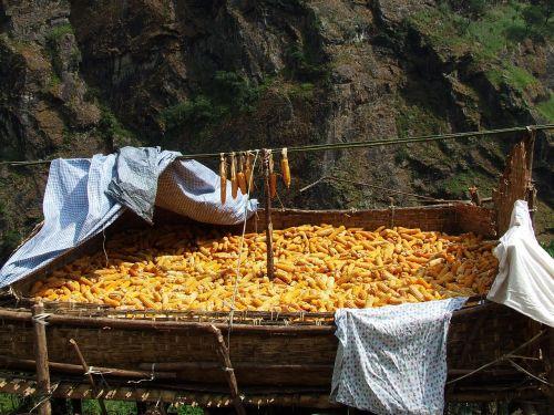 corn drying nepal