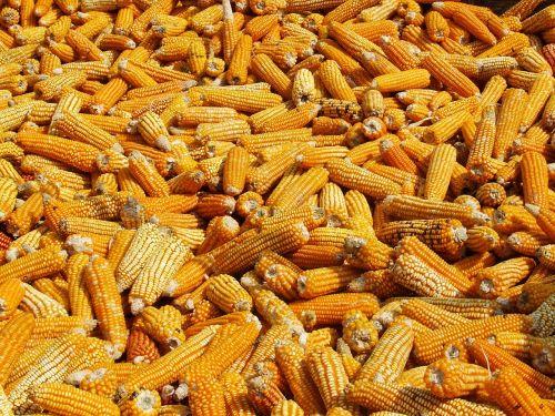 corn drying annapurna