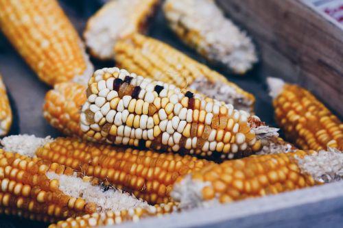 corn cob corn vegetable