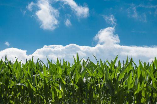 corn field blue sky countryside