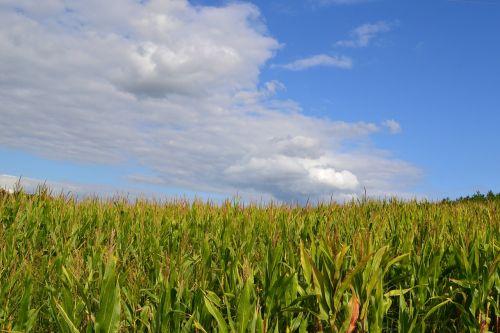 corn fields sky cloud