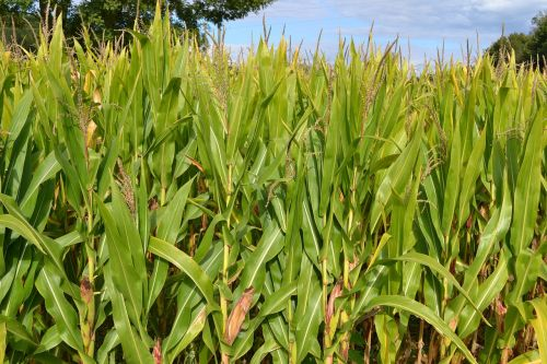 corn fields field agriculture