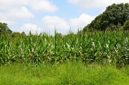 Corn Fields Of Georgia, USA