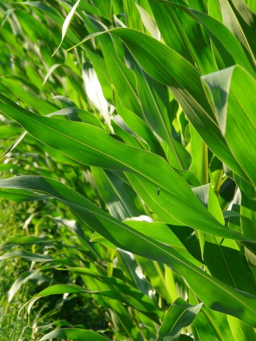 corn leaves corn leaves