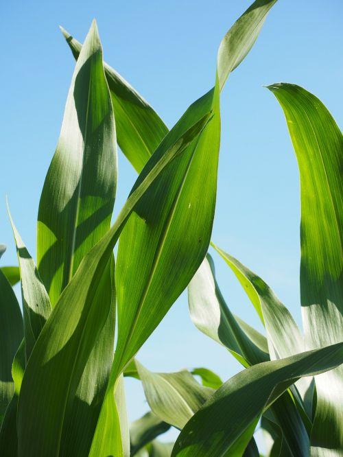 corn leaves corn cornfield