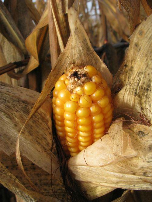 corn on the cob corn plant