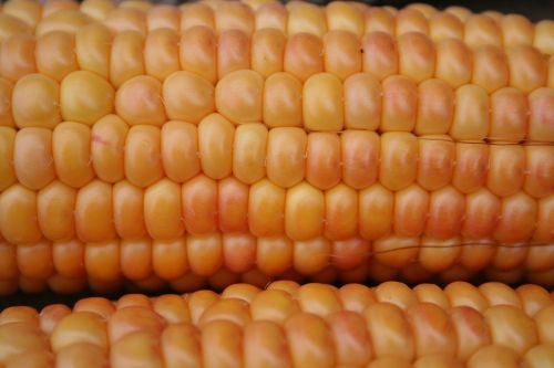 corn on the cob corn gold