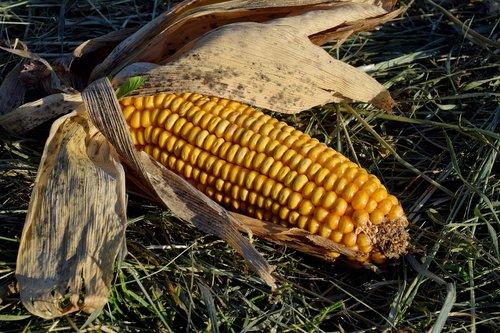 corn on the cob  corn  food