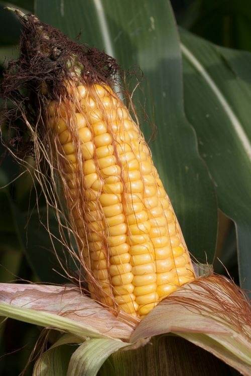 corn on the cob corn zea mays