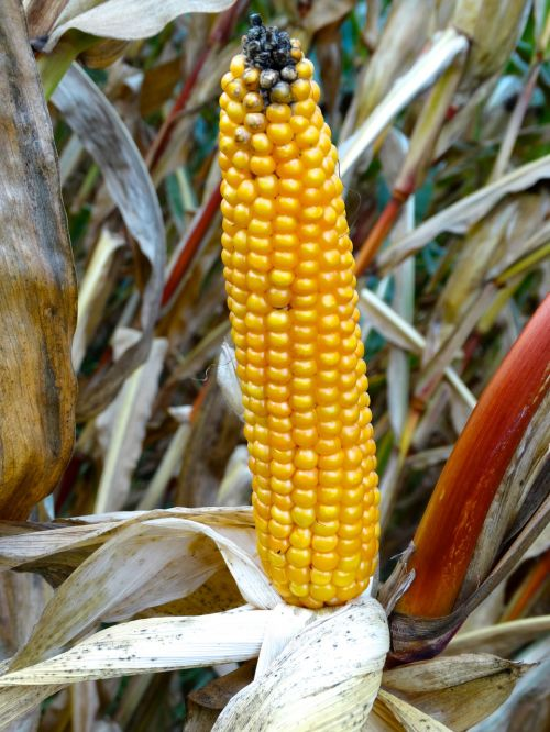 corn on the cob corn corn plant