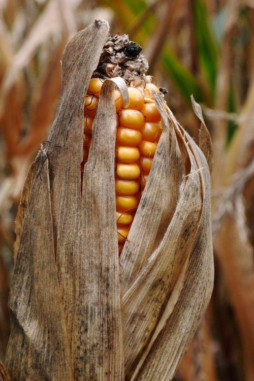 corn on the cob ripe corn