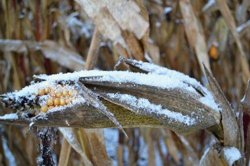 corn on the cob snow corn