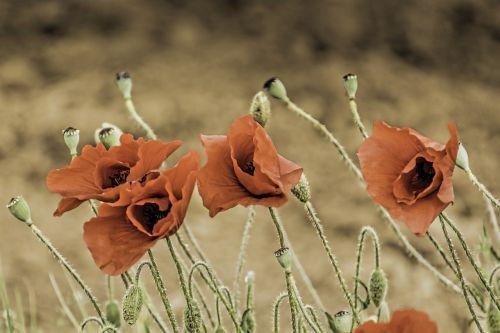 corn poppy papaver somniferum field poppy