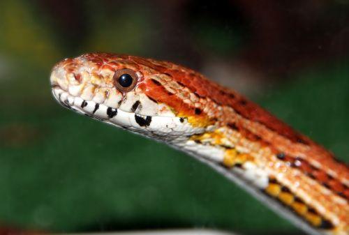 corn snake spotted elaphe red rat snake