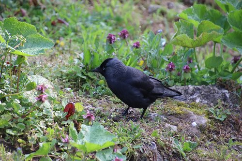 corneille  black  bird