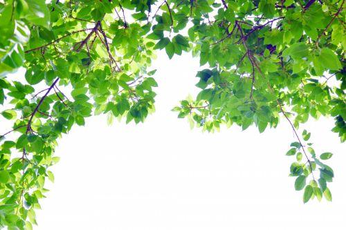 lapija, lapai, rėmas, kampas, gamta, filialai, kampiniai lapai 11