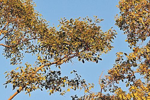 filialas, medis, ruduo, gamta, kampas, lapija, lapai, kampinė lapija 2