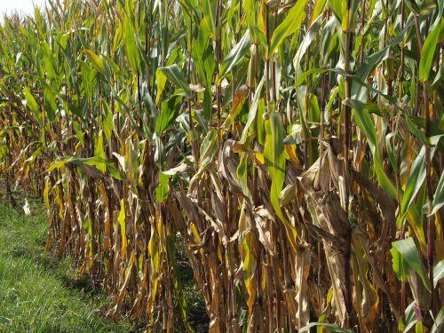 cornfield lane nature