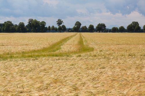 cornfield field nature