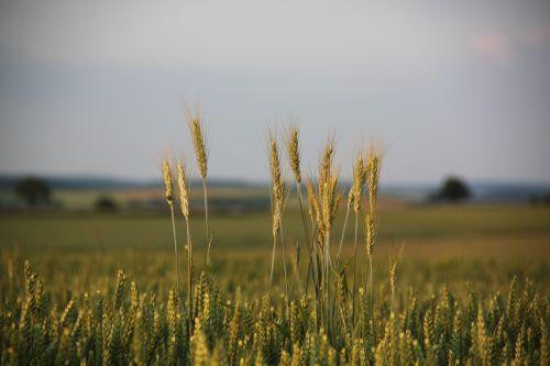 cornfield spike cereals