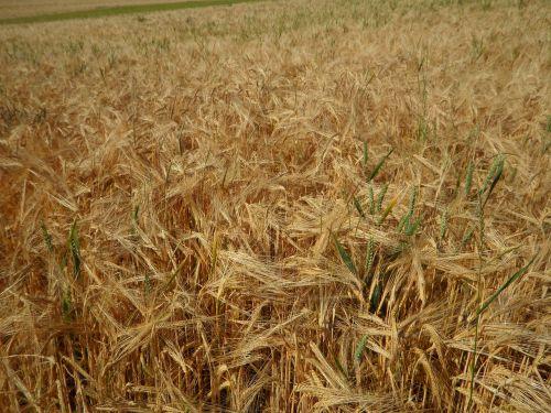 cornfield field barley