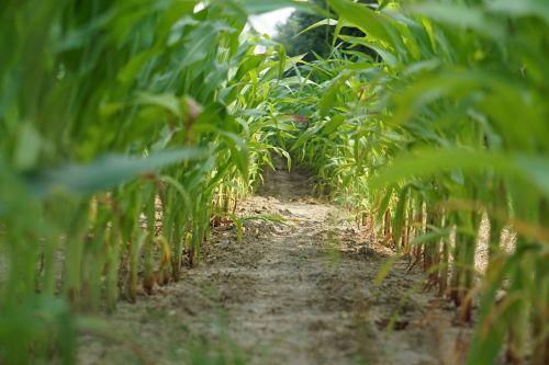 cornfield corn field