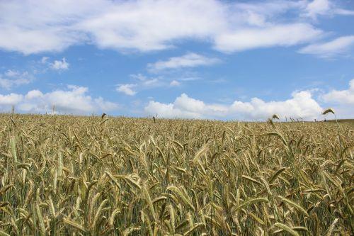 cornfield grain g