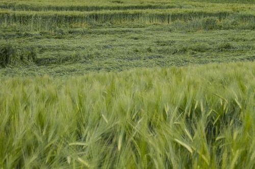 cornfield cereals storm damage