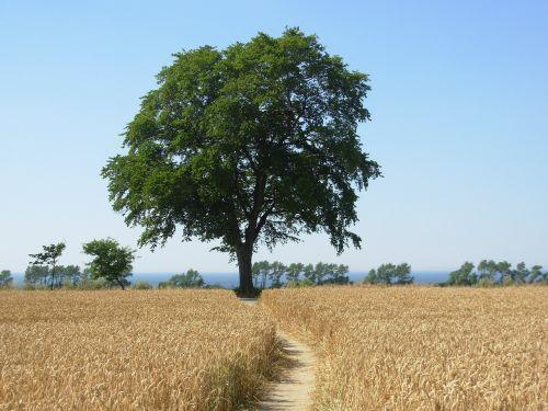 cornfield tree summer