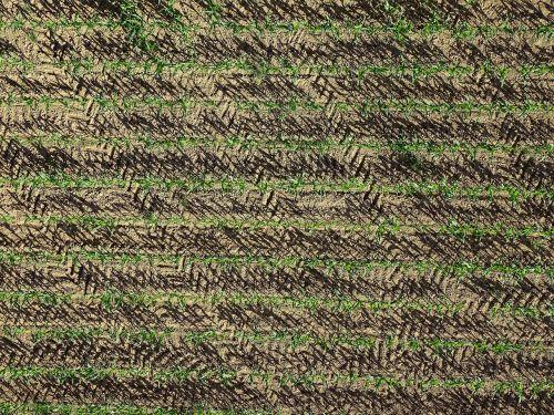 cornfield corn agriculture