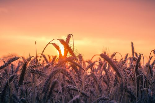 cornfield sunset back light