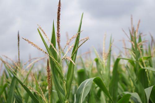 cornfield corn corn cultivation