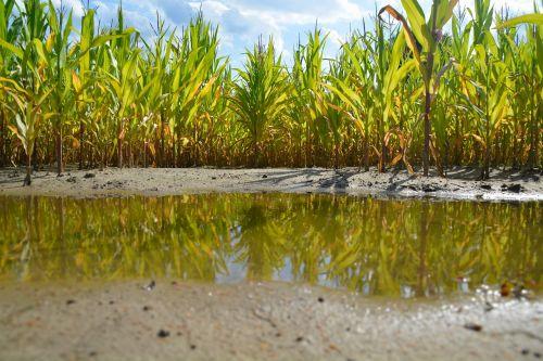 cornfield puddle corn