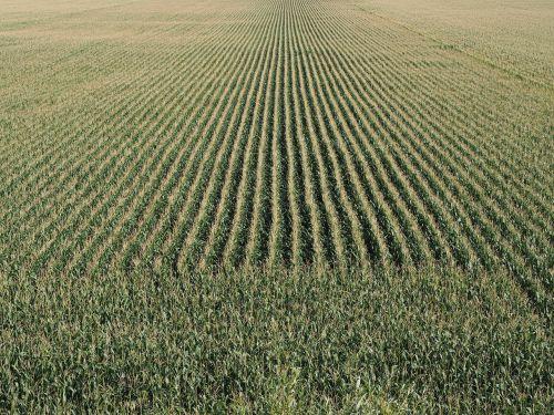 cornfield cereals corn
