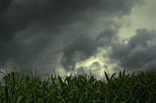 cornfield gewitterstimmung low angle shot