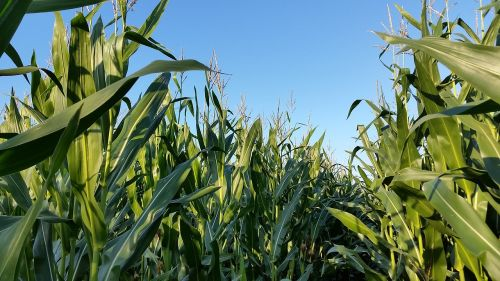 cornfield monoculture landscape
