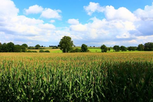 cornfield landscape field