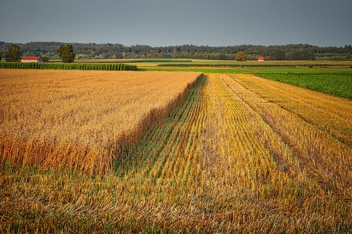 cornfield  harvest  agriculture